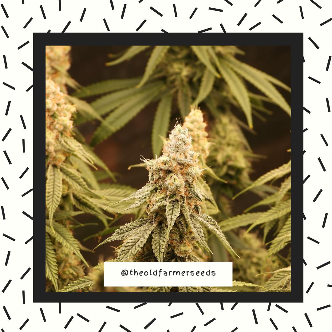 cannabis10