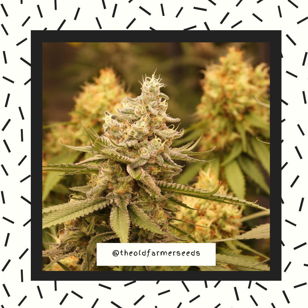 cannabis13